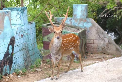 馬祖旅遊 大坵 梅花鹿的無人島樂園
