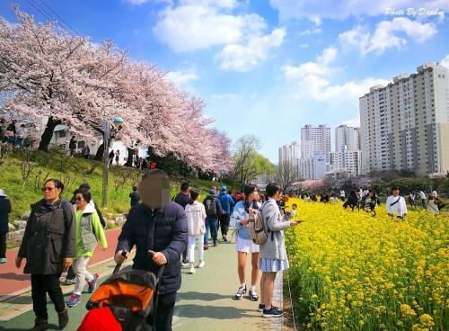 你該去釜山賞櫻的五個理由 釜山市區六大賞櫻熱點推薦 小資族追櫻行低花費首選