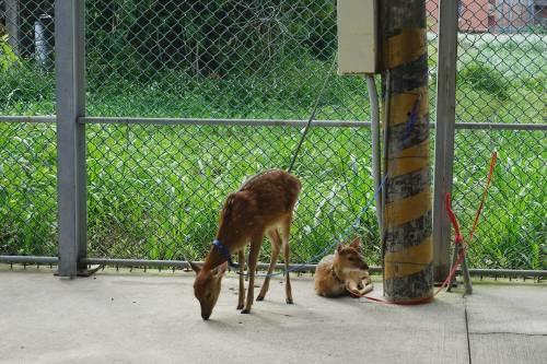 親子旅遊 山腳鹿場水鹿之家 餵鹿吃牧草喝牛奶 小鹿賽跑 DIY活動 週末假日遛小孩!